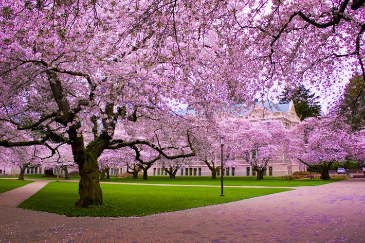 CIA Cherry Blossom